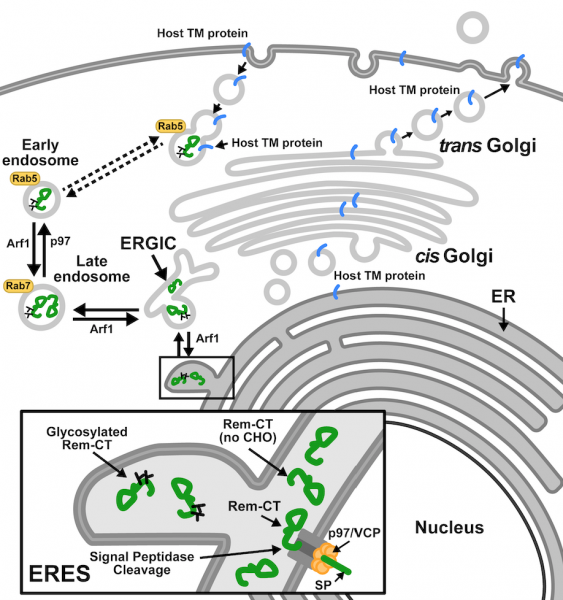 Glycosylated Rem-CT traffics to and from the ER through ERGIC, early, and late endosomes, with potential implications for host transmembrane protein regulation.