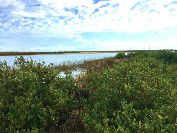 Mixed marsh and mangrove stand