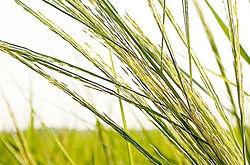 switchgrass banner