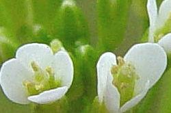 Arabidopsis Banner