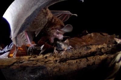 Trachops cirrhosus