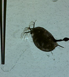 Female daphnia fed Heavy Mineral Oil. Hours later her movements slowed and she died 3 days later. (Strickler image)