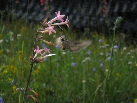Ipompsis Flower