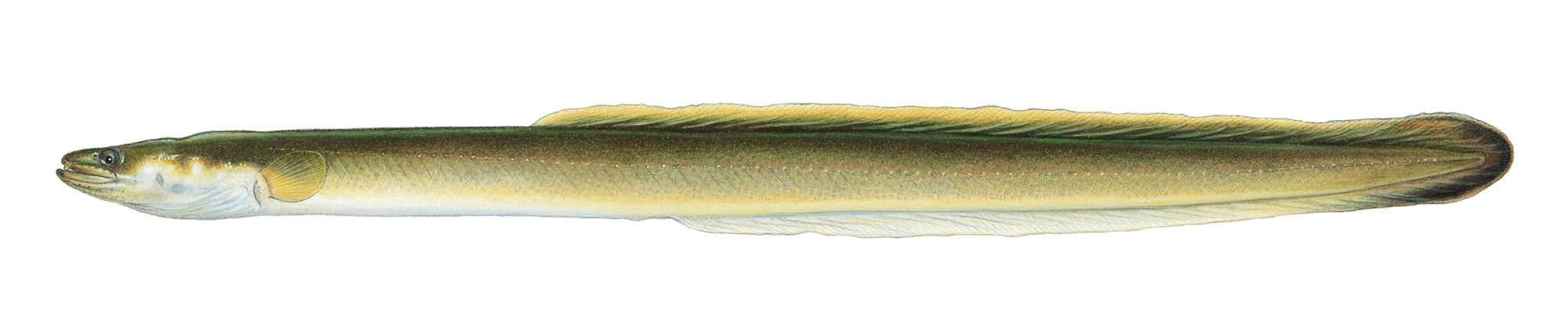 American Eel - copyright Joe Tomelleri