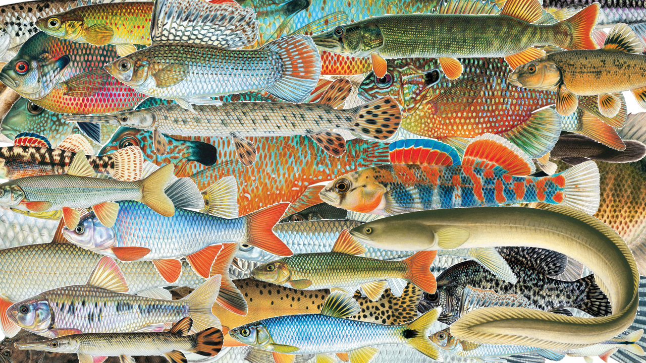 Fish illustrations copyrighted by Joe Tomelleri (http://americanfishes.org)