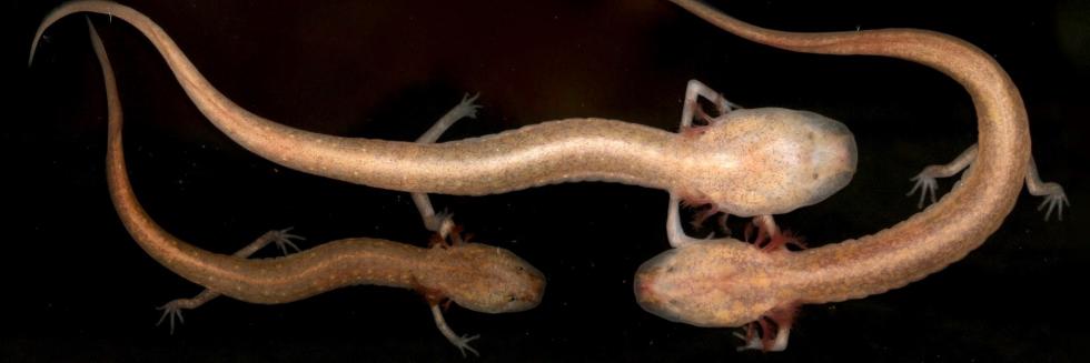 Eurycea pterophila