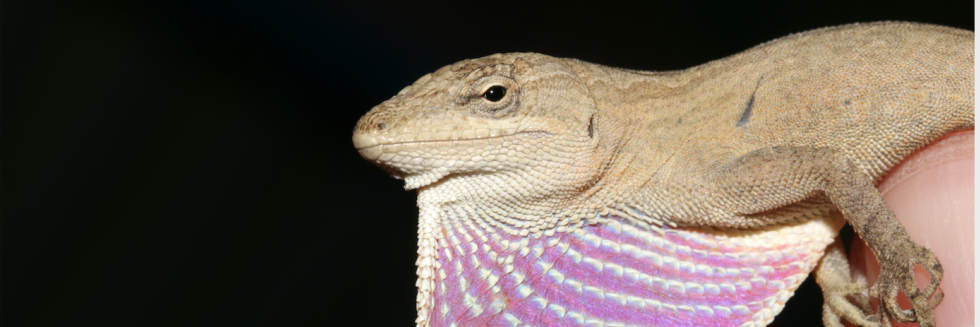 Britt White_Anole_front page